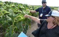 Nuevos híbridos de girasol y tecnologías para soja y maíz