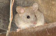 Nuevas estrategias para la prevención y control de roedores en zonas rurales