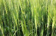 Trigo, hacer lo correcto desde el inicio del cultivo