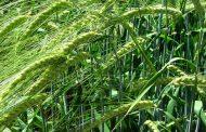 Crece el protagonismo de la cebada