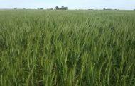Activar las defensas del trigo y la cebada