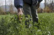 Aprueban una variedad de alfalfa genéticamente modificada