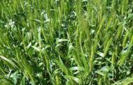 Recomendaciones para prevenir enfermedades del trigo