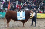 Raza Limousin