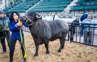 Volvieron los Búfalos a la Exposición Rural