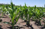 La fertilización con zinc mejora la calidad nutricional de los granos y puede ser clave en la lucha contra la desnutrición