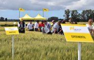 La historia y el futuro del trigo se escriben en La Ballenera