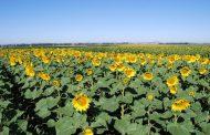 Aumentó un 15% la superficie sembrada de girasol en el sudoeste de la Provincia