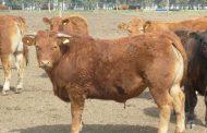 Limflex, la herramienta flexible de Limousin para producir más y mejor carne vacuna