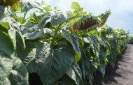 Girasol y maíz para el noreste Argentino