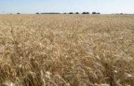 El trigo alcanzó su mayor siembra histórica