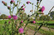 NUEVA ALERTA ROJA: resistencia múltiple a glifosato y 2,4-D en cardo chileno (Carduus acanthoides L.)