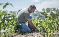 Los maíces DEKALB son la mejor opción para siembras tardías