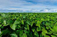 Innovación para el productor: nueva tecnología para controlar enfermedades en soja