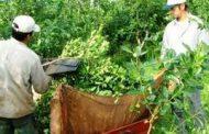 Covid2019 –Recomendaciones para la cosecha, acopio y secanza de yerba mate