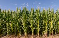Dos gigantes unidas detrás de la última tecnología en maíz