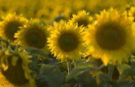 El arte de hacer girasol: BASF lanza el nuevo herbicida Clearsol® II Plus
