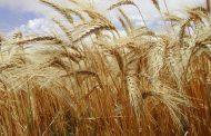 ¿Por qué refertilizar el trigo con nitrógeno?
