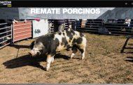 Se pagaron 173.000 pesos por un reproductor porcino en el remate