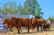 Una vaca  con cría logró un récord nacional para la categoría