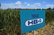 LA APROBACION COMERCIAL DEL TRIGO HB4. UNA INVENCION CIENTIFICA NACIONAL Y UN RIESGO ECONOMICO EXTRAORDINARIO