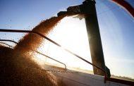 Crece la industrialización del maíz en los primeros diez meses del 2020