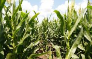 Lanzan un maíz que tiene todo para el manejo de plagas y malezas