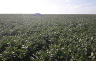 Una nutrición a tiempo para que florezcan los rendimientos en la soja