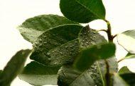 Se impulsa la posibilidad de aplicar bio insumos en yerba mate
