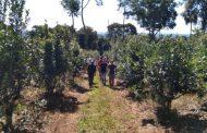 Con la técnica de rama madura,  el productor Drebel incrementó 50 % el rendimiento del yerba