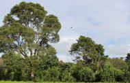 El INYM, con apoyo de la Fundación Agroecológica Iguazú, llevará 3 mil árboles nativos a los yerbales