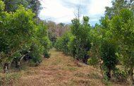 Aplicación de fertilizante orgánico, otra opción para lograr la sustentabilidad del cultivo