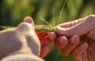 Qué buscan los productores a la hora de sembrar trigo