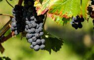 Un escudo biológico para proteger a las uvas y a los frutos secos de los hongos