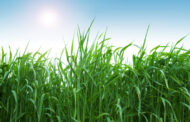 Trigo: Que el nitrógeno no margine el rendimiento