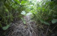 Qué inoculante elegir y cómo aplicarlo, una decisión clave para la siembra de soja